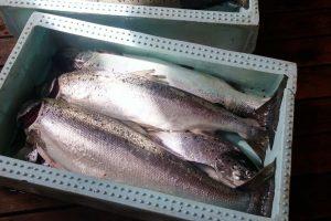 Nyfångad fisk i Gåsholma - foto Aja Axlund